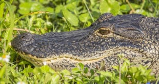 Closeup of American Alligator (Alligator mississippiensis) basking in the Florida sun
