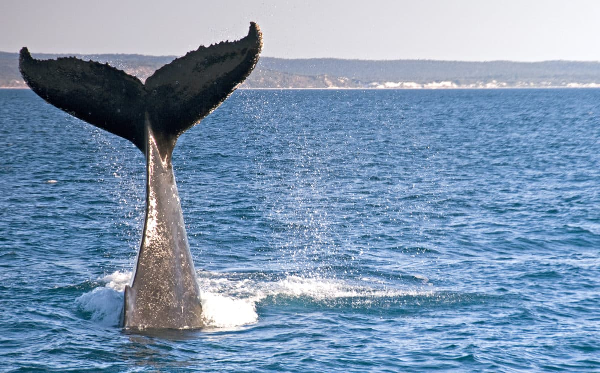 whale season in cabo san lucas
