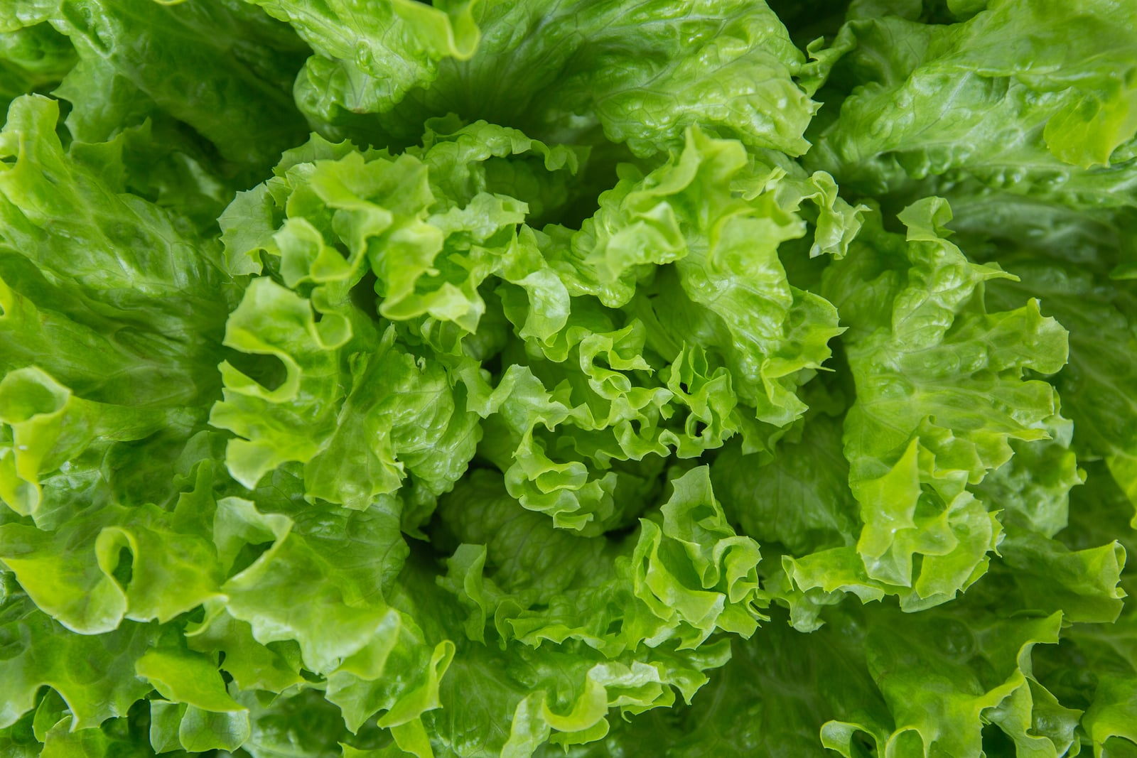 Close up bunch of fresh, green batavia lettuce