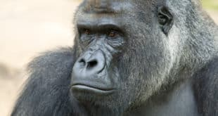 silverblack gorilla was killed in zoo