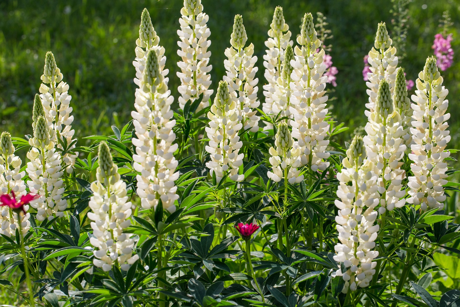 A Lot Of White Lupines