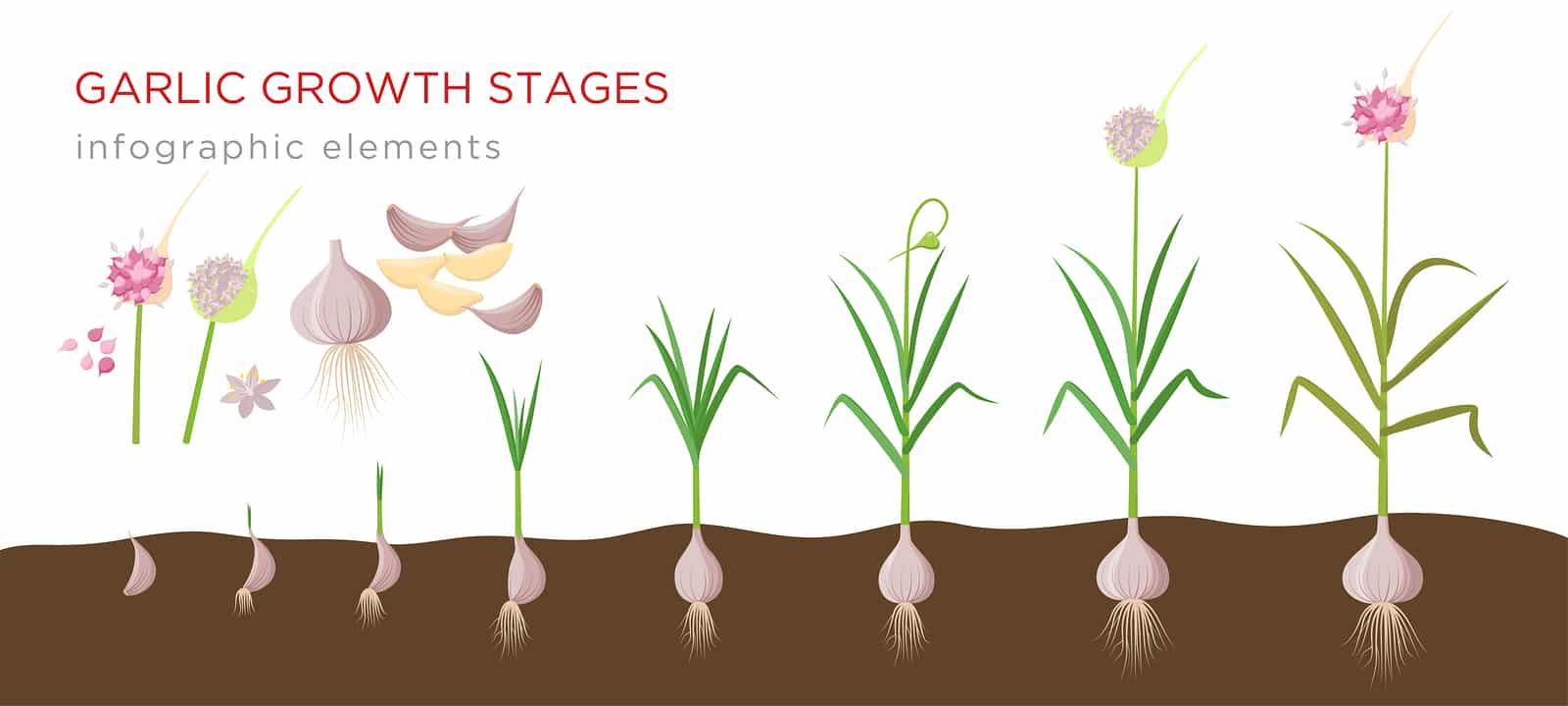 Garlic plant growing