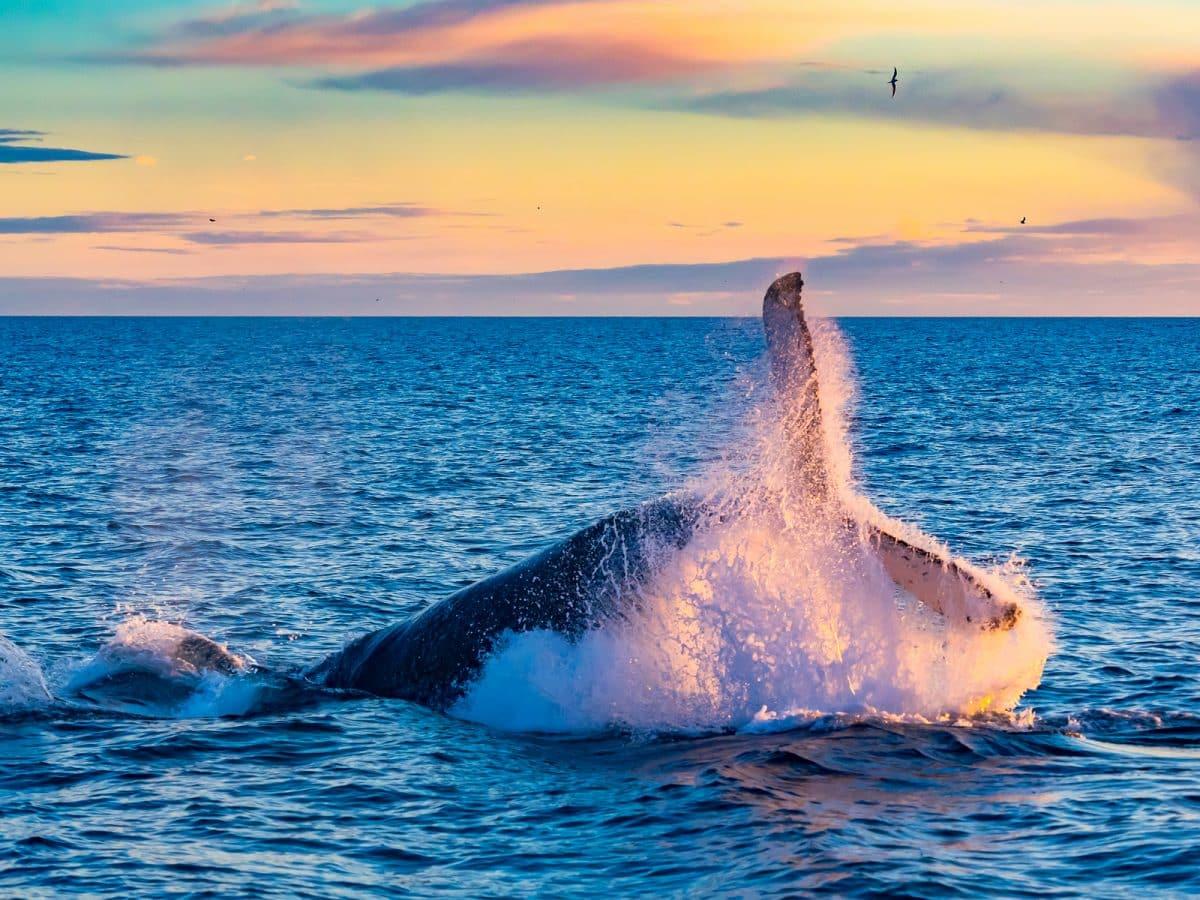 Humpback Whale breaching in deep blue sea