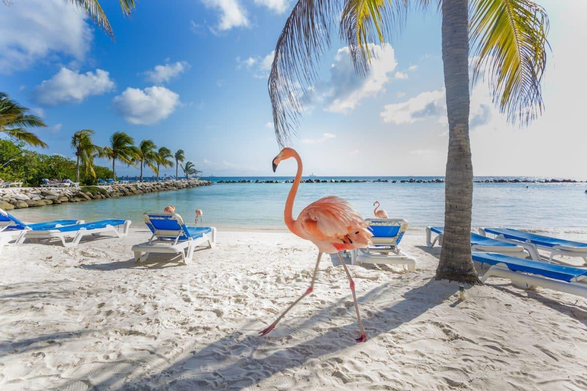 Flamingos on the Aruba beach