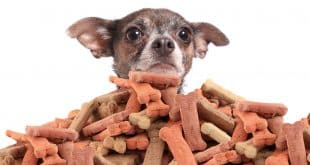 Chihuahua peeking over large mound of dog bone shaped treats