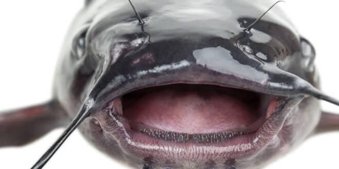 Monstrous Catfish Invading Europe (1)