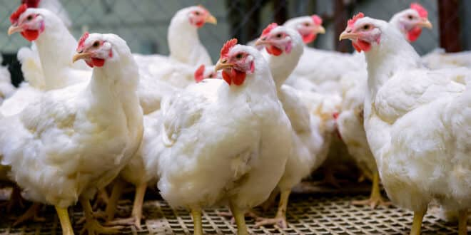 Winter Storms Effect Chicken Shortages in the USA?